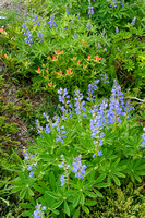 Lupine & Indian Paintbrush, Obstruction Point Road, Olympic National Park, Washington