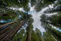 Towering Redwoods, Cal-Barrel Road, Prairie Creek Redwoods State Park, California