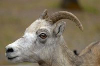Bighorn Sheep Portrait, Miette Hot Springs, Jasper National Park, Alberta