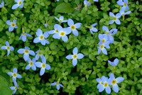 Bluets, Greenbrier, Great Smoky Mountains National Park, Tennessee