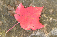 Fallen Maple Leaf, Pendleton Point, Blackwater Falls State Park, West Virginia