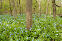 Sun-Dappled Bluebells, Illinois Canyon, Starved Rock State Park, Illinois