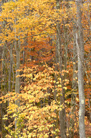Autumn Trees, Canaan Valley State Park, West Virginia