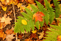 Fern and Fall Color, Laughing Whitefish Falls State Park, Michigan