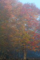 Autumn Trees in Morning Fog, Canaan Valley National Wildlife Refuge, West Virginia