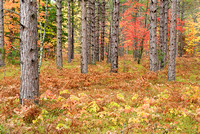 Fall Color in Pine Forest, George Washington Forest, Hiawatha National Forest, Michigan