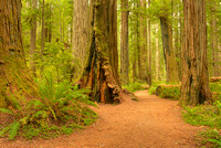Stout Grove, Jedediah Smith Redwoods State Park, California