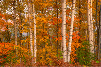 Birch Forest, Near Halfmoon Lake, Hiawatha National Forest, Michigan