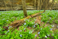 Bluebells, Illinois Canyon, Starved Rock State Park, Illinois