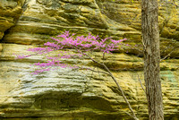 Redbud Portrait, Illinois Canyon, Starved Rock State Park, Illinois