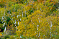 Birches, Crawford Notch State Park, New Hampshire