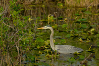 Great Blue Heron, Anhinga Trail, Everglades National Park, Florida