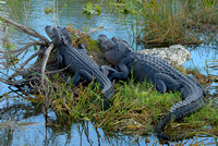 Alligators, Anhinga Trail, Everglades National Park, Florida