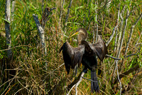 Anhinga, Anhinga Trail, Everglades National Park, Florida