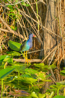 Purple Gallinule, Anhinga Trail, Everglades National Park, Florida