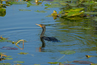 Cormorant, Anhinga Trail, Everglades National Park, Florida