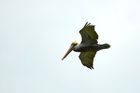 Brown Pelican, Lower Metecumbe Key, Monroe County, Florida