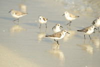 Piping Plovers, Bahia Honda State Park, Bahia Honda Key, Florida