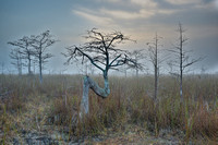 Z Tree Morning, Everglades National Park, Florida