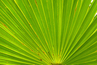 Thatch Palm Front Closeup, Mahogany Hammock, Everglades National Park, Florida