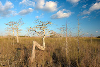 Z Tree Afternoon, Everglades National Park, Florida