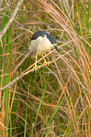 Black Crowned Night Heron, Shark Valley, Everglades National Park, Florida