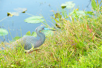 Tri-Colored Heron, Shark Valley, Everglades National Park, Florida