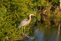 Great Blue Heron, Shark Valley, Everglades National Park, Florida
