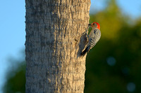 Red-Bellied Woodpecker, Shark Valley, Everglades National Park, Florida
