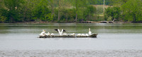 White Pelicans, Illinois River, Starved Rock State Park, Illinois