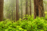 Redwood Grove in Fog, Coastal Trail, Del Norte Coast Redwoods State Park, California