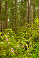 Redwoods & Rhododendrons, Del Norte Coast Redwoods State Park, California