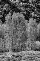 Backlit Aspens Black & White, Lee Vining Canyon, Inyo National Forest, California