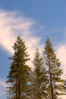 Conifer Trio, Mammoth Lakes, Inyo National Forest, California