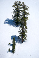 Conifers in Snow, Red Lake Vista, Eldorado National Forest, California