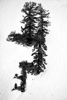 Conifers in Snow Black & White, Red Lake Vista, Eldorado National Forest, California