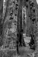 Founders Grove Black & White, Humboldt Redwoods State Park, California