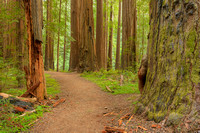 Founders Grove, Humboldt Redwoods State Park, California