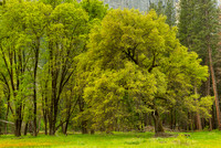 Tree Cluster, El Capitan Meadow, Yosemite National Park, California