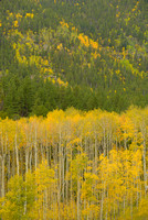 Aspens & Conifers, San Isabel National Forest, Colorado
