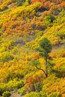 Mountainside Color, County Road 9, Uncompahgre National Forest, Colorado