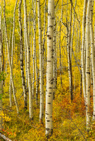 Aspen Intimate, Dark Canyon Loop Trail, Kebler Pass, Gunnison National Forest, Colorado