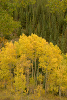 Aspens & Conifers, Kebler Pass, Gunnison National Forest, Colorado