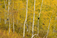 Aspen Trunks, Kebler Pass, Gunnison National Forest, Colorado