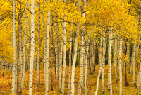 Aspen Intimate, Kebler Pass, Gunnison National Forest, Colorado