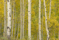 Aspen Intimate, Old Lime Creek Road, San Juan National Forest, Colorado