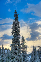 Snowy Conifers at Sunset, Red Mountain Pass, Uncompahgre National Forest, Colorado
