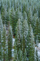 Snowy Conifers, Red Mountain Pass, Uncompahgre National Forest, Colorado