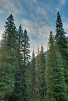 Conifer Morning, South Mineral Creek, San Juan National Forest, Colorado
