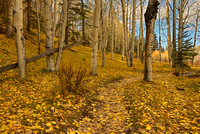 Aspen Forest, Telluride Valley Floor, San Miguel County, Colorado